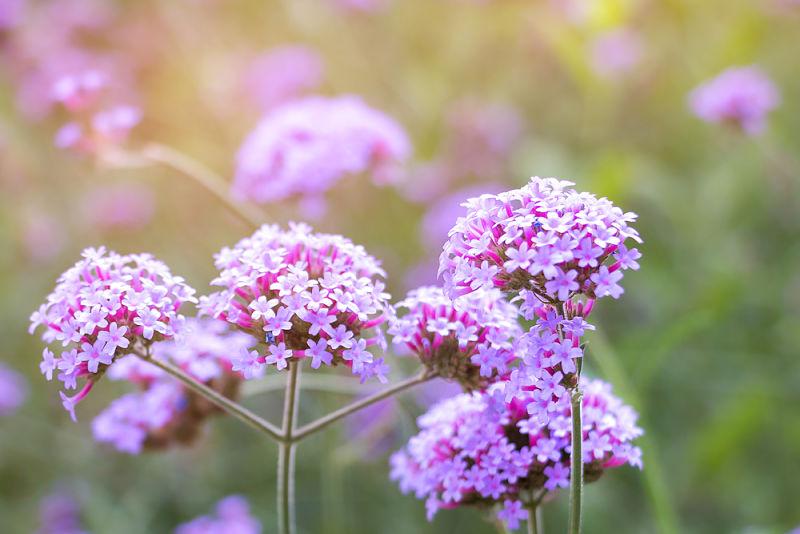 flores de verbena para mantener senos más firmes